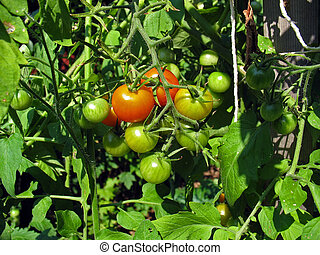 tomato cluster - Some fresh grown tomatoes ripening right on...