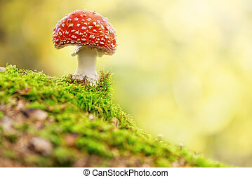 Fly Agaric in forest - Fly Agaric or toadstool in forest
