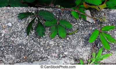 shy plant: mimosa pudica