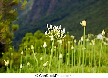 Agapanthus - some Agapanthus, from the island of Madeira