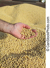 Soy - Human hands holding soy beans after harvest at tractor...