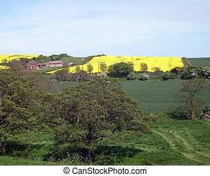 Rapeseed field in countryside, north yorkshire moors...