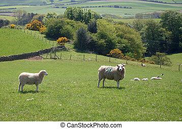Sheep, pasto, campo