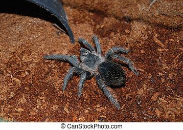 Tarantula - Lasiodora parahybana