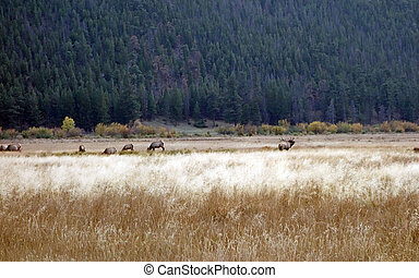 Healt - Healthy herd of elk during rutting season...