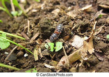 Common Pill Bug - Potato bug with Babies
