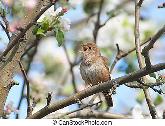 House Wren In A Tree - House Wren troglodytes aedon singing...