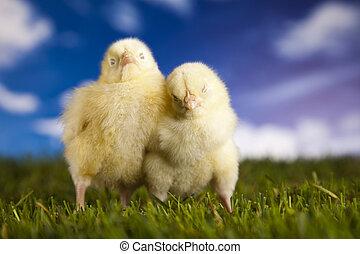 Chicks in green grass