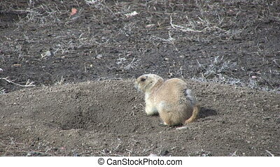 Prairie Dog at Burrow - a prairie dog at its grassland...