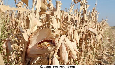 corn field autumn scene