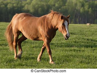 Walking horse - A horse walks in the field