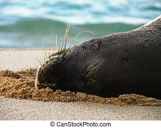 monk seal closeup of face - closeup of monk seal face in...