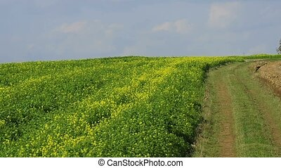 a fiel of mustard - a field of mustard for green manure