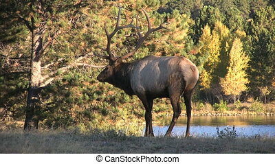 Bull Elk - a big bull elk in the fall