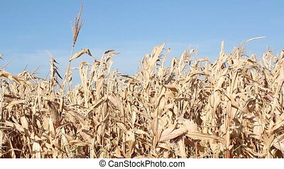 corn autumn scene