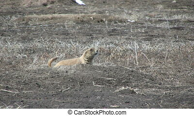 Prairie Dog at its Burrow - a prairie dog on its burrow on...