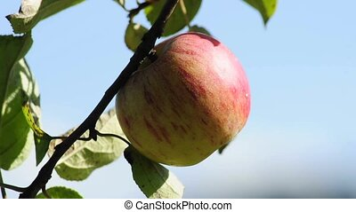 apple tree - closeup of a branch with ripe apples