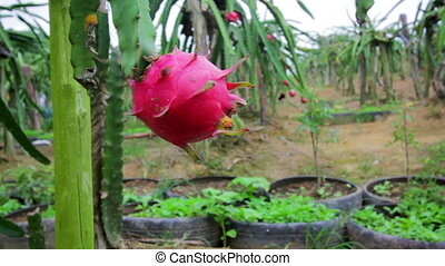 exotic dragon fruit garden