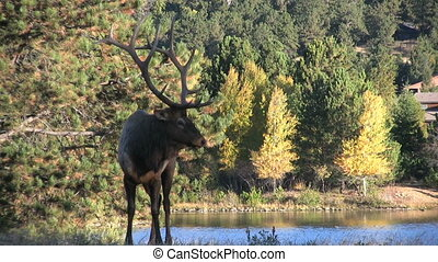 Bull Elk - a big bull elk next to a mountain lake