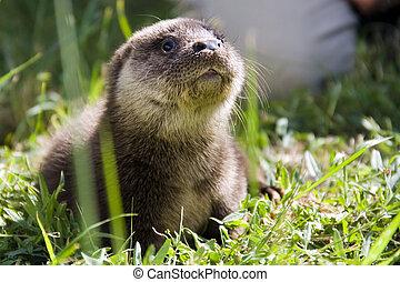 Orphaned otter baby - An orphaned European otter (Lutra...