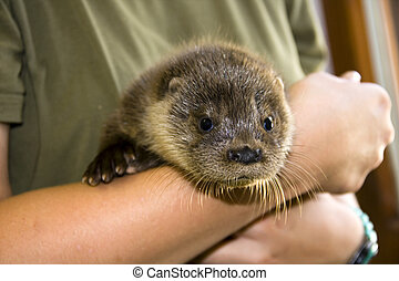 Orphaned otter baby - An orphaned European otter Lutra lutra...