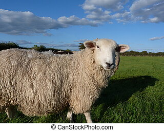 A Romney Sheep - Romney Sheep in a field