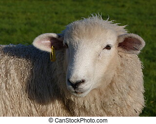 Face of a Romney Sheep