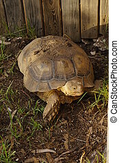 African Spurred Tortoise Geochelone sulcata in zoo Ayamonte...