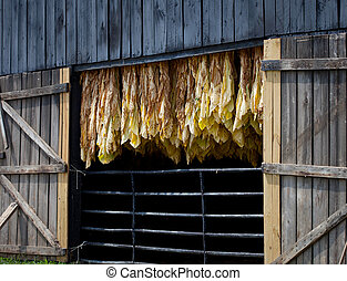 Tobacco Barn - Row of tobacco leaves curing in a barn