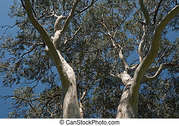 Eucalyptus tree - Two large branches of eucalyptus tree with...