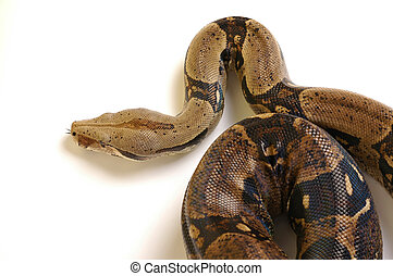 Snake 15 - Head of real snake 15