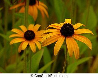 Yellow Coneflowers - Close up of yellow coneflowers...