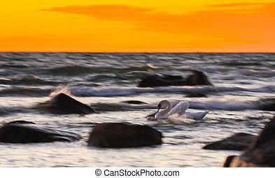 Swan between rocks in stormy sea at