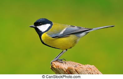 Parus major - Great tit perched on a branch with green...