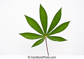 Cassava leaf - cassava leaf  on white background