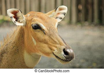 Wild deer close-up