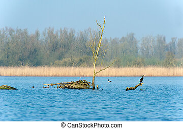 Dutch Biesbosch - Nature with cormorant in the Dutch...