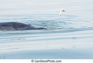 Balaenoptera physalus,Bryde's Whale behavior eating fish in...