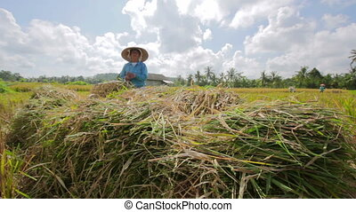 agriculture workers on rice field