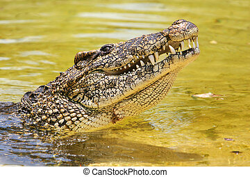cuban crocodile - Profile of a cuban crocodile. The Cuban...