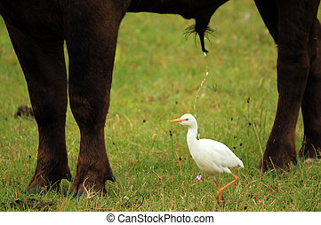 Cattle Egret Walking Under a Peeing African Buffalo, Lake...