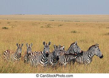 Plains Zebras (Equus Quagga) on Savannah, Maasai Mara, Kenya