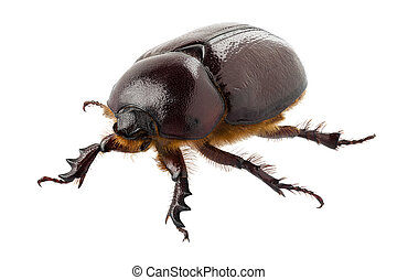 "European rhinoceros beetle female ""Oryctes nasicornis""..."