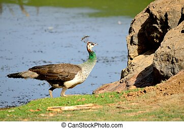 Female Peacock - Female Peafowl :----Peafowl produce loud...
