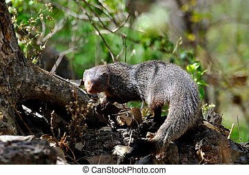 The Indian gray mongoose or common grey mongoose Herpestes...