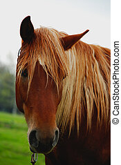 horse head close-up , brown - horse head , cloudly, sad