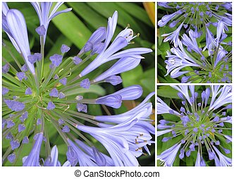 Agapanthus flowers in bloom, seen from top... made collage