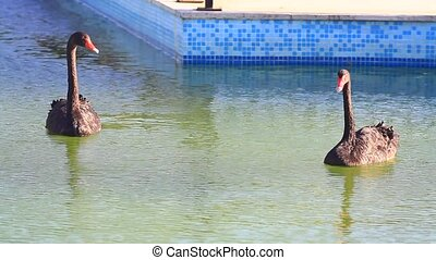 Black swans swimming in the pond.