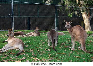 canguros, zoo