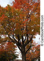 Maple tree in the fall